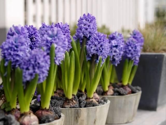 How to grow up hyacinth