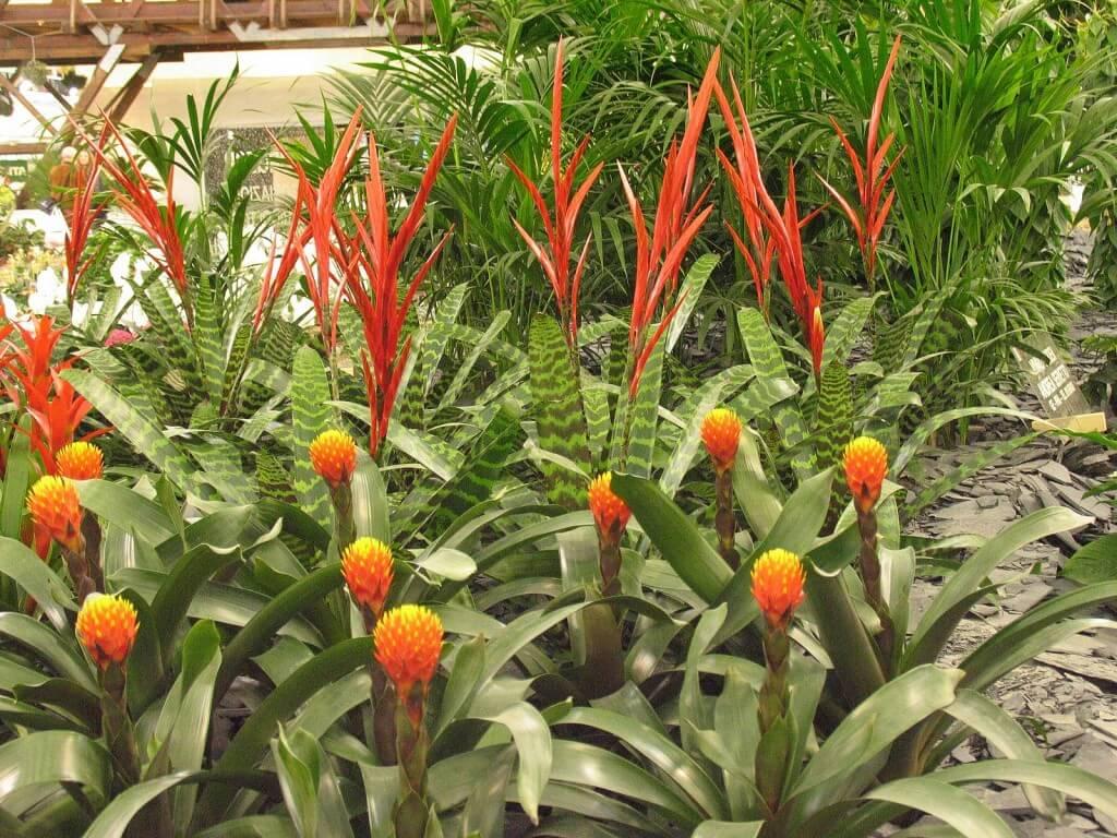 Origin of a ginger-plant
